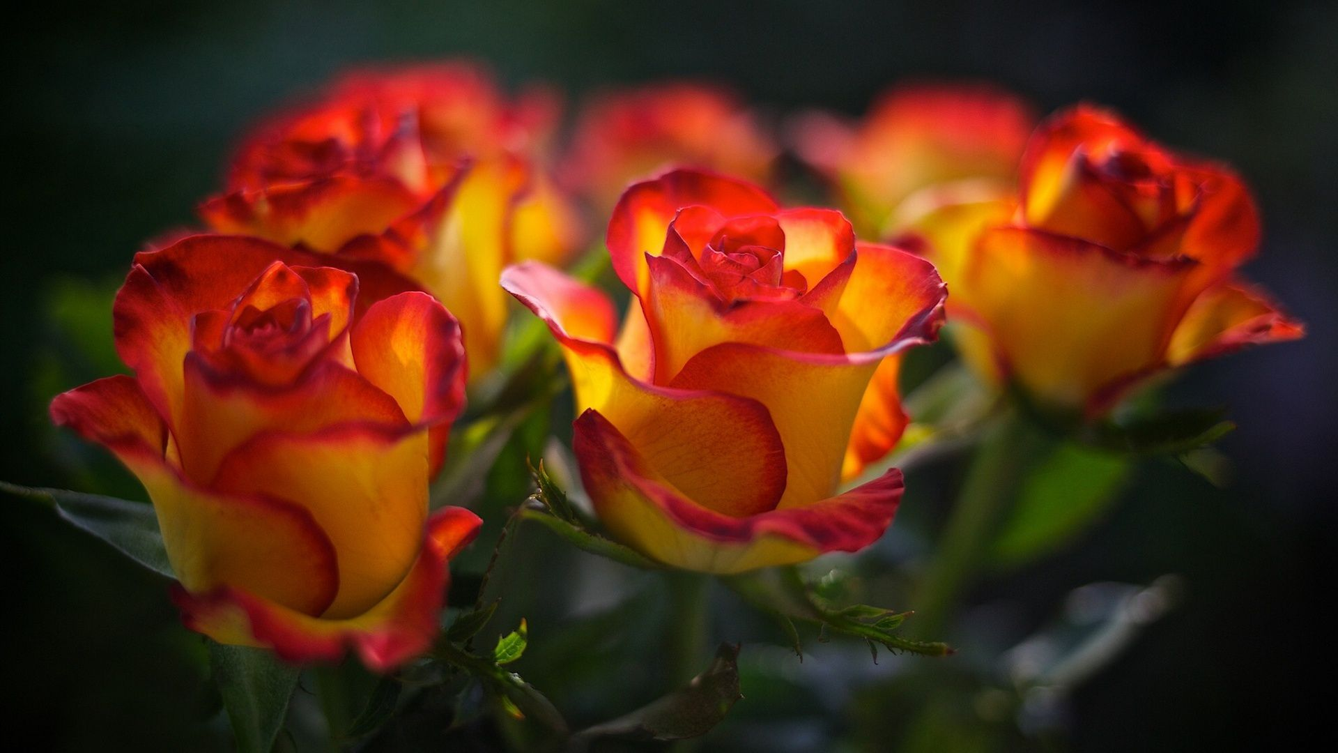 Rose Full HD Wallpaper and Background Image  1920x1080  ID592705