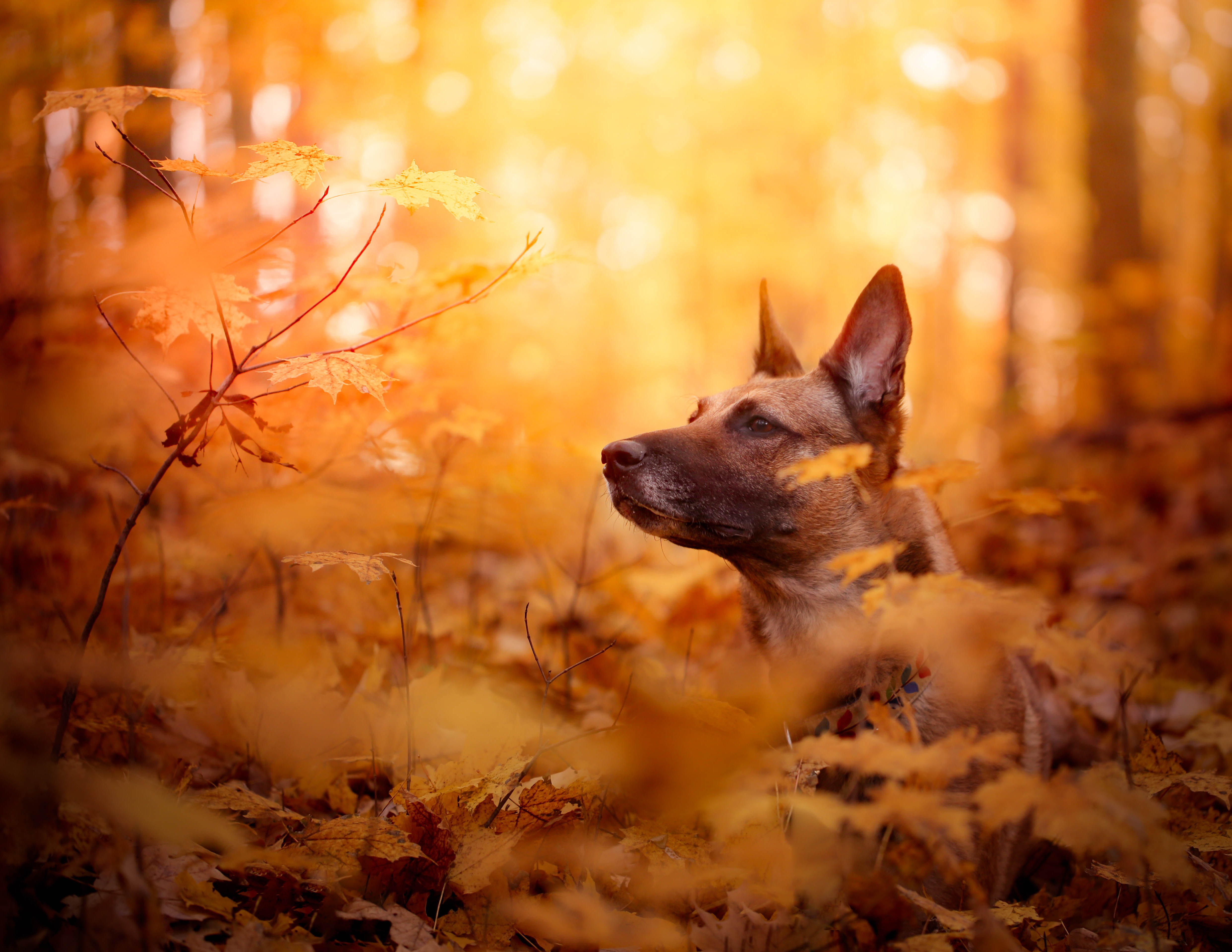 Autumn Fall Wallpaper 1600x900 15 Belgian Malinois Hd Wallpapers Background Images