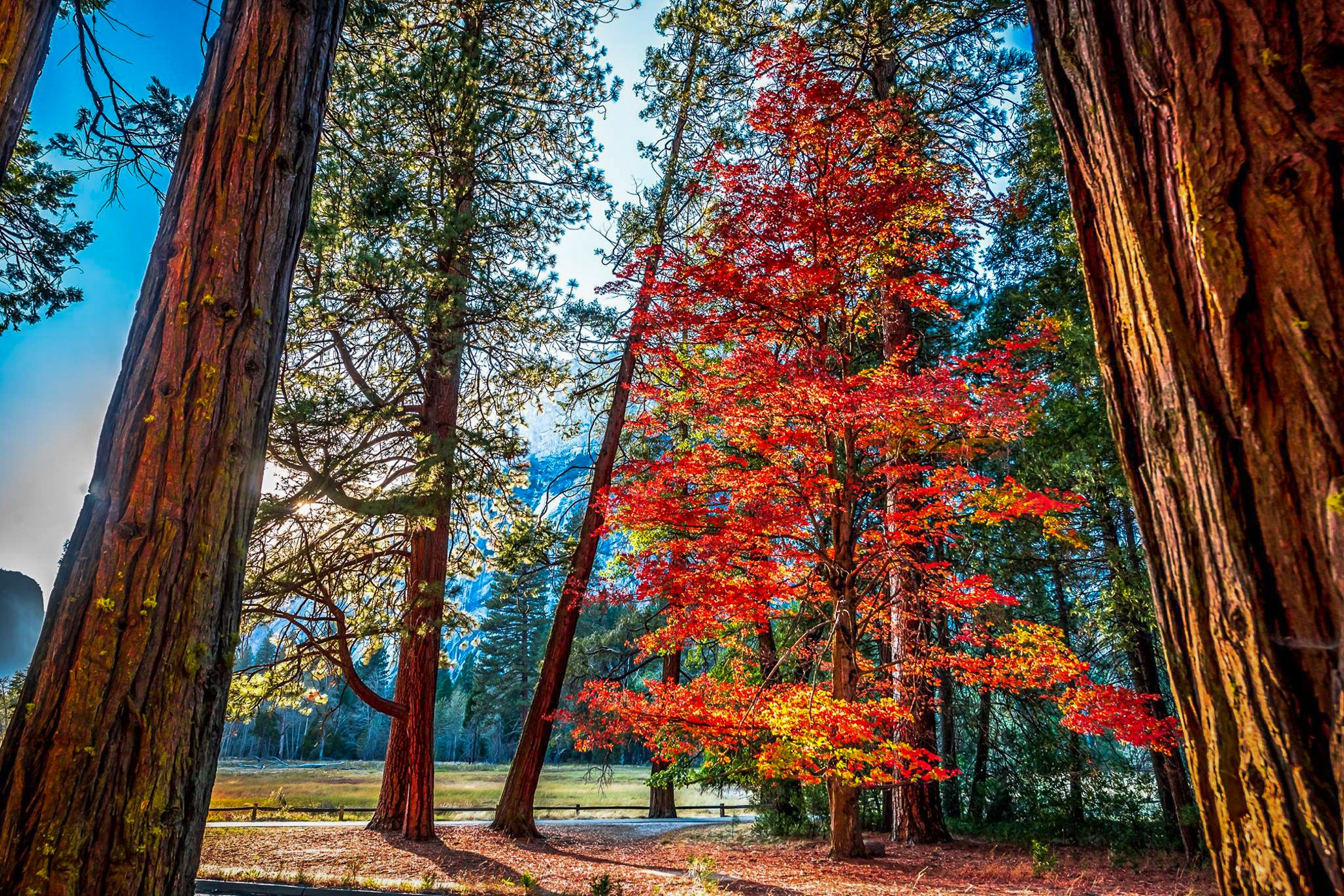 Fall Foliage Wallpaper Widescreen Autumn Tree In Redwood Forest Hd Wallpaper Background