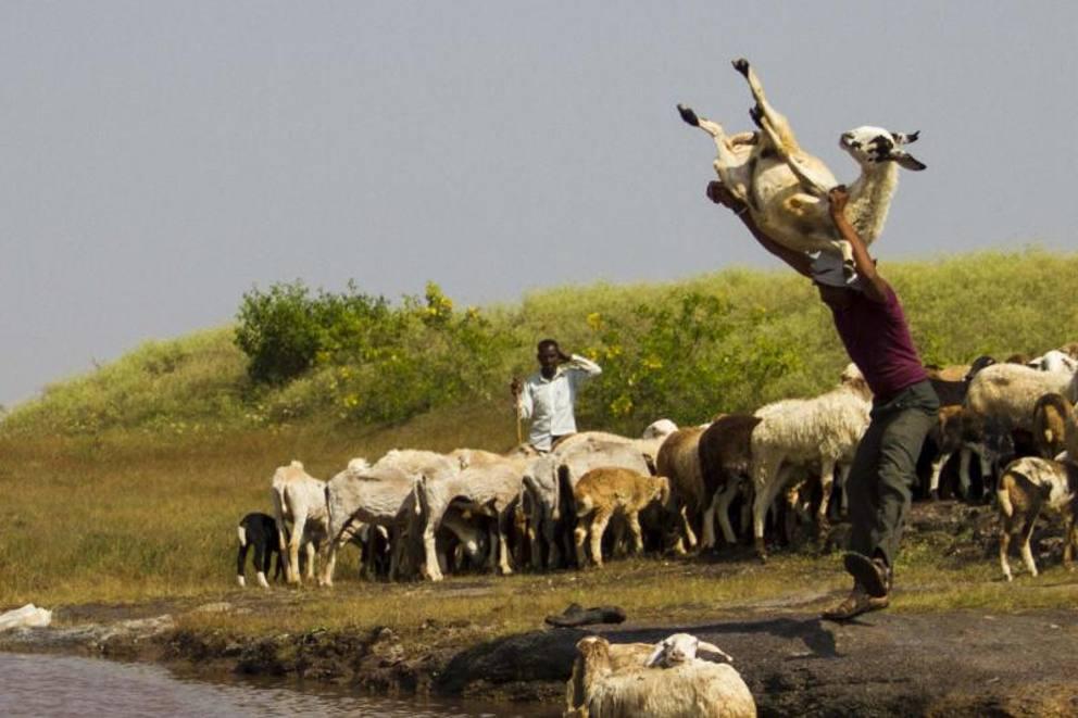 India il pastore dai modi crudeli lancia le pecore nel