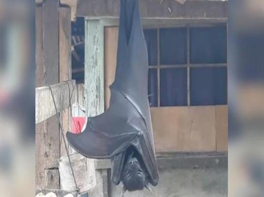 Lo scatto del pipistrello «gigante» che spopola sul web