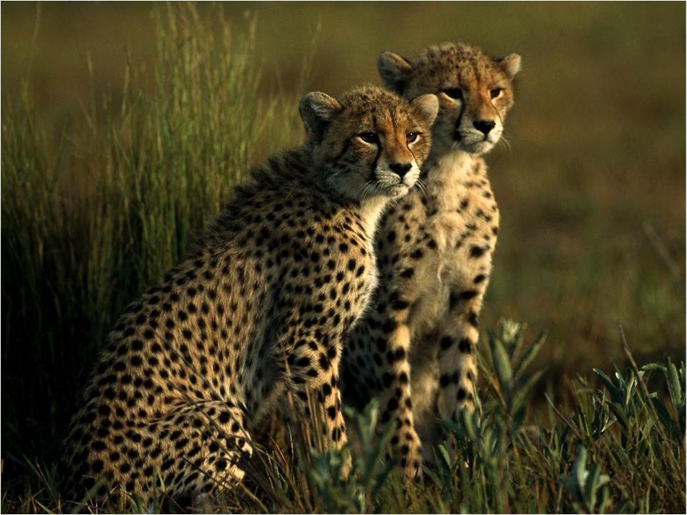 Cute Baby Cheetah Cubs Wallpaper Cheetah Cubs Cheetah Photo 10546439 Fanpop
