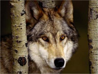 wolf cute wolves fanpop wallpapers gray lobo