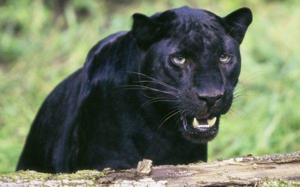 Black Panther Animal