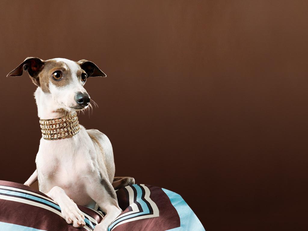 Cute Puppy Live Wallpaper Greyhound Dogs Wallpaper 13789114 Fanpop