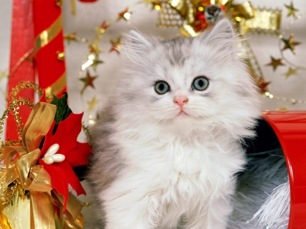 Christmas Cat Wallpapers Backgrounds Funny