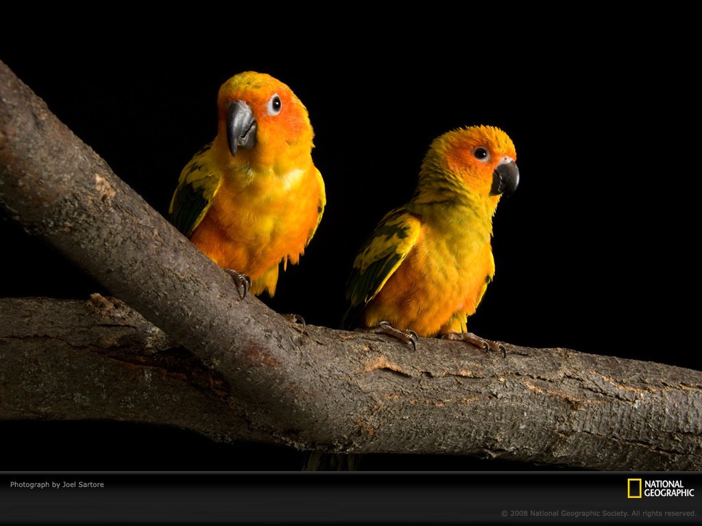 Cute Cockatiel Wallpaper Birds National Geographic Wallpaper 6873731 Fanpop