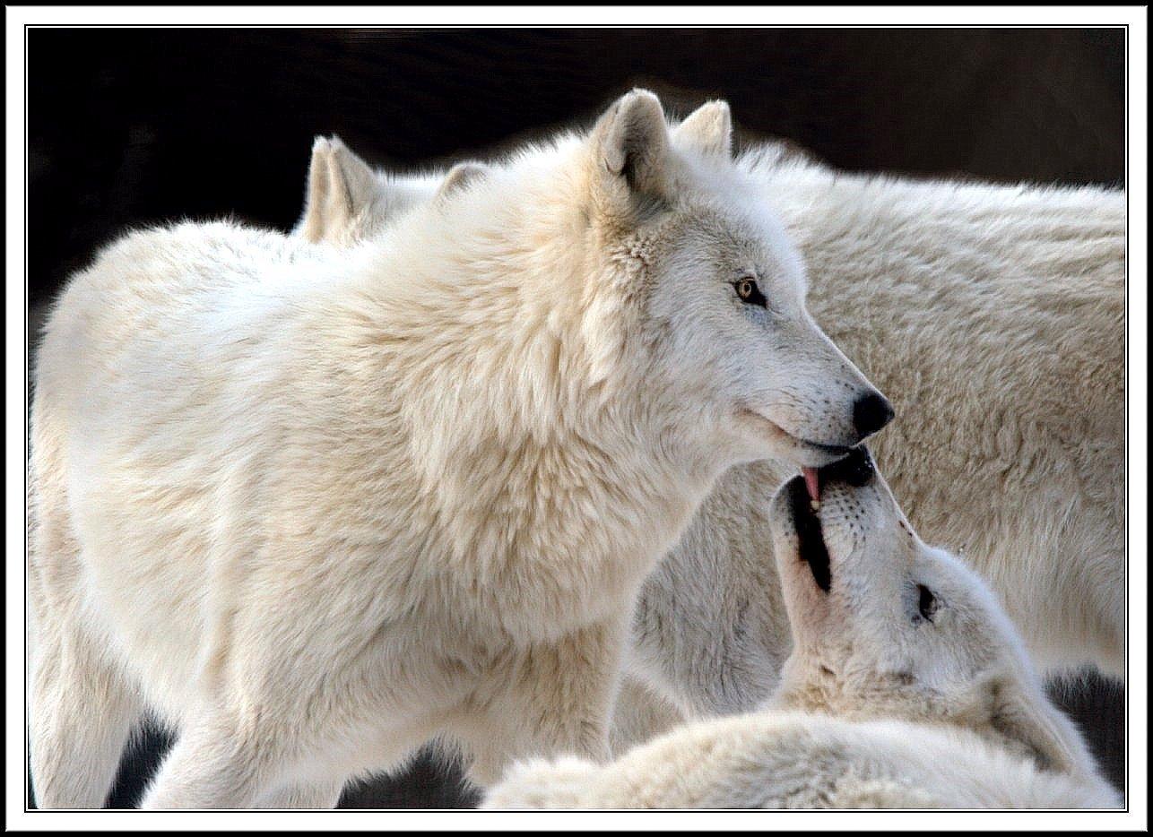 https://i0.wp.com/images2.fanpop.com/images/photos/7000000/wolf-wolves-7065445-1286-934.jpg