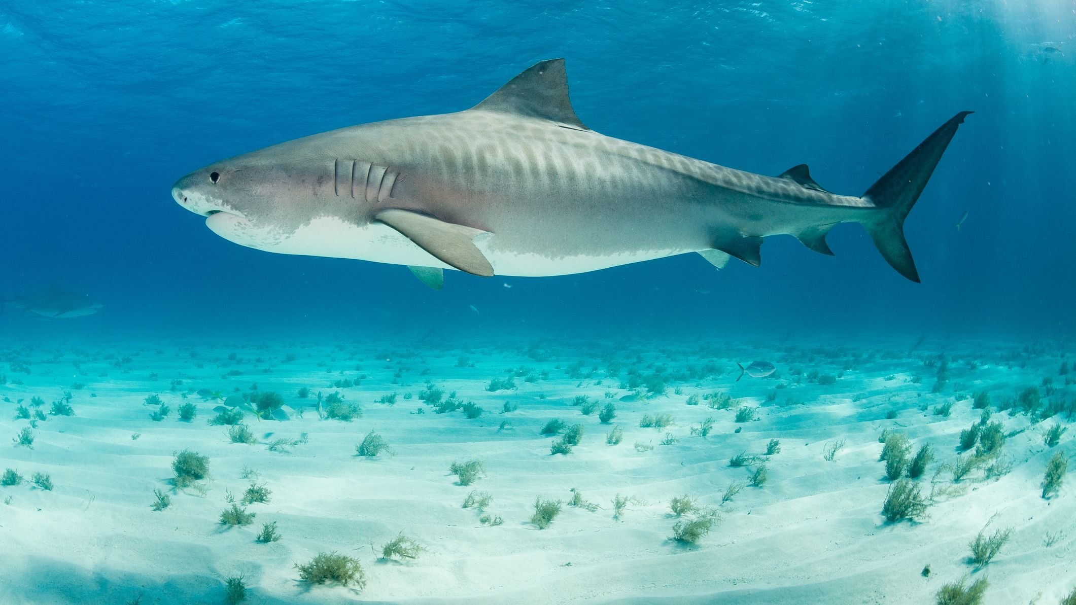 11 Facts About Tiger Sharks Mental Floss