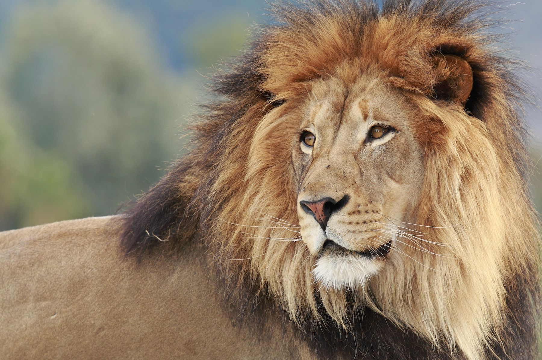why do male lions