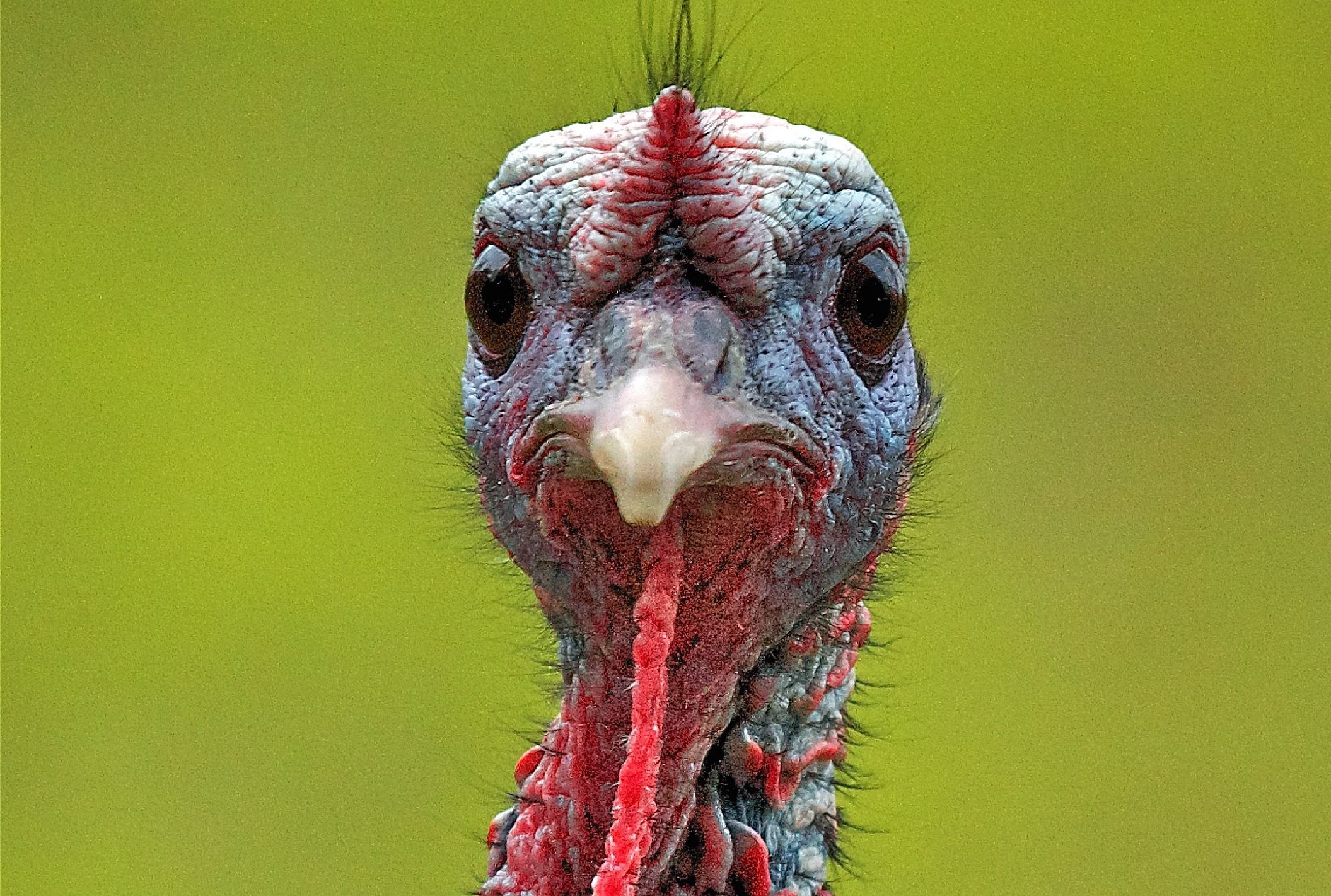 15 facts about turkeys