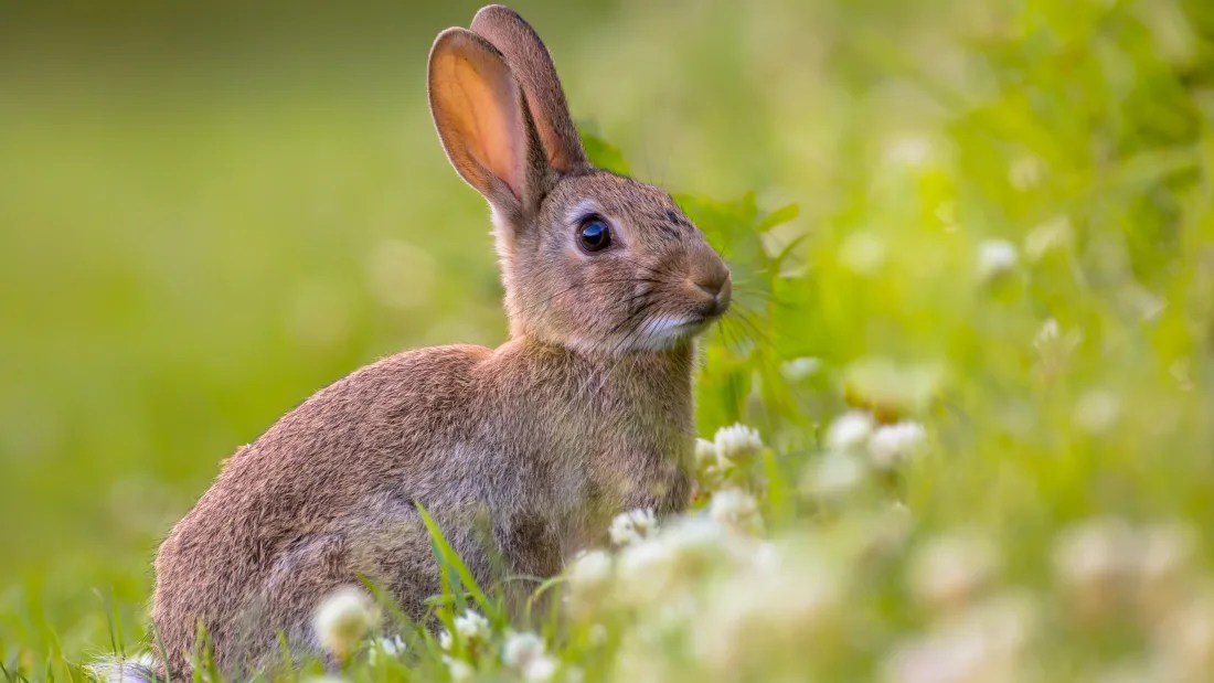 are rabbits as prolific