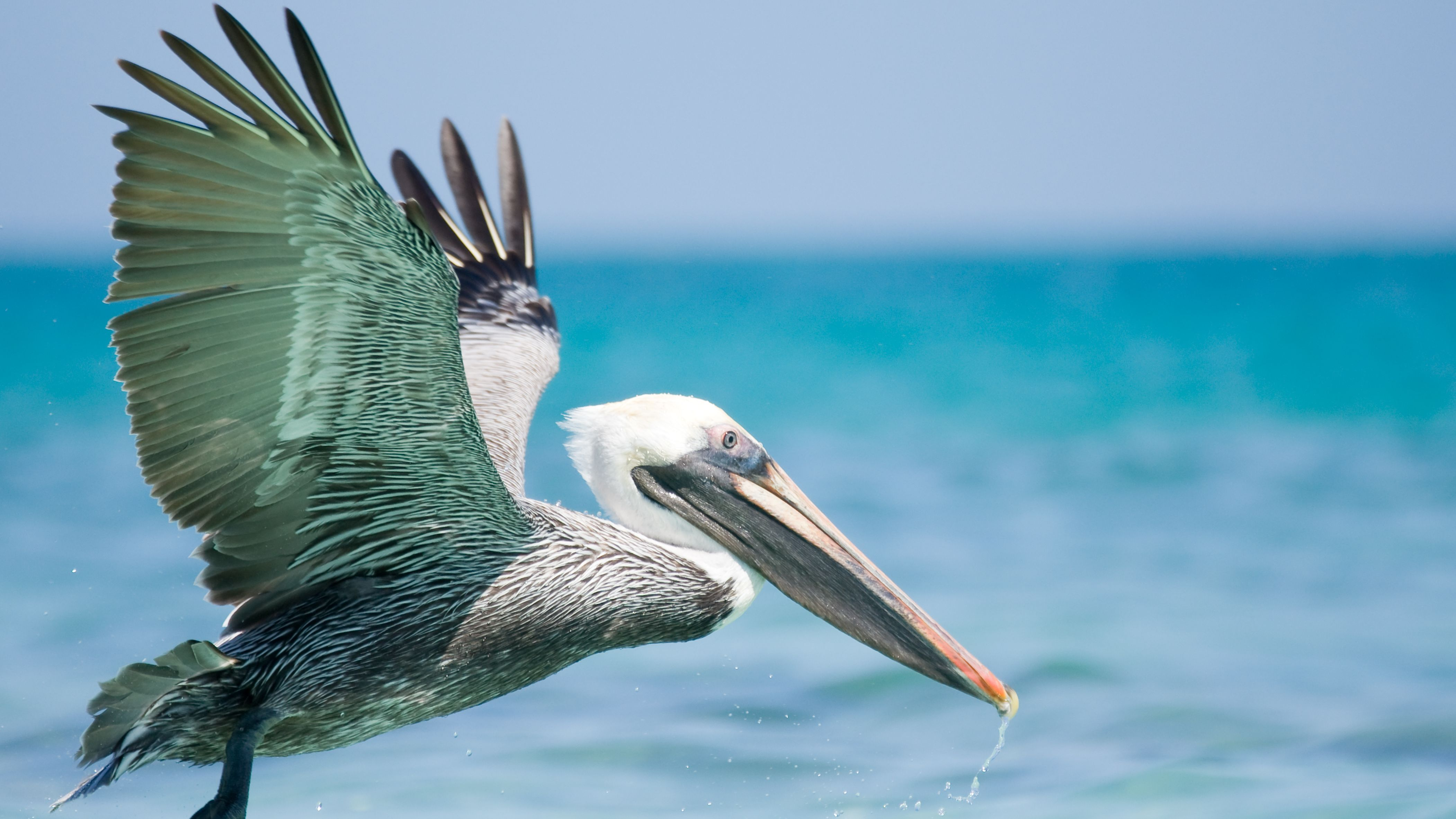 10 Fun Facts About Pelicans Mental Floss