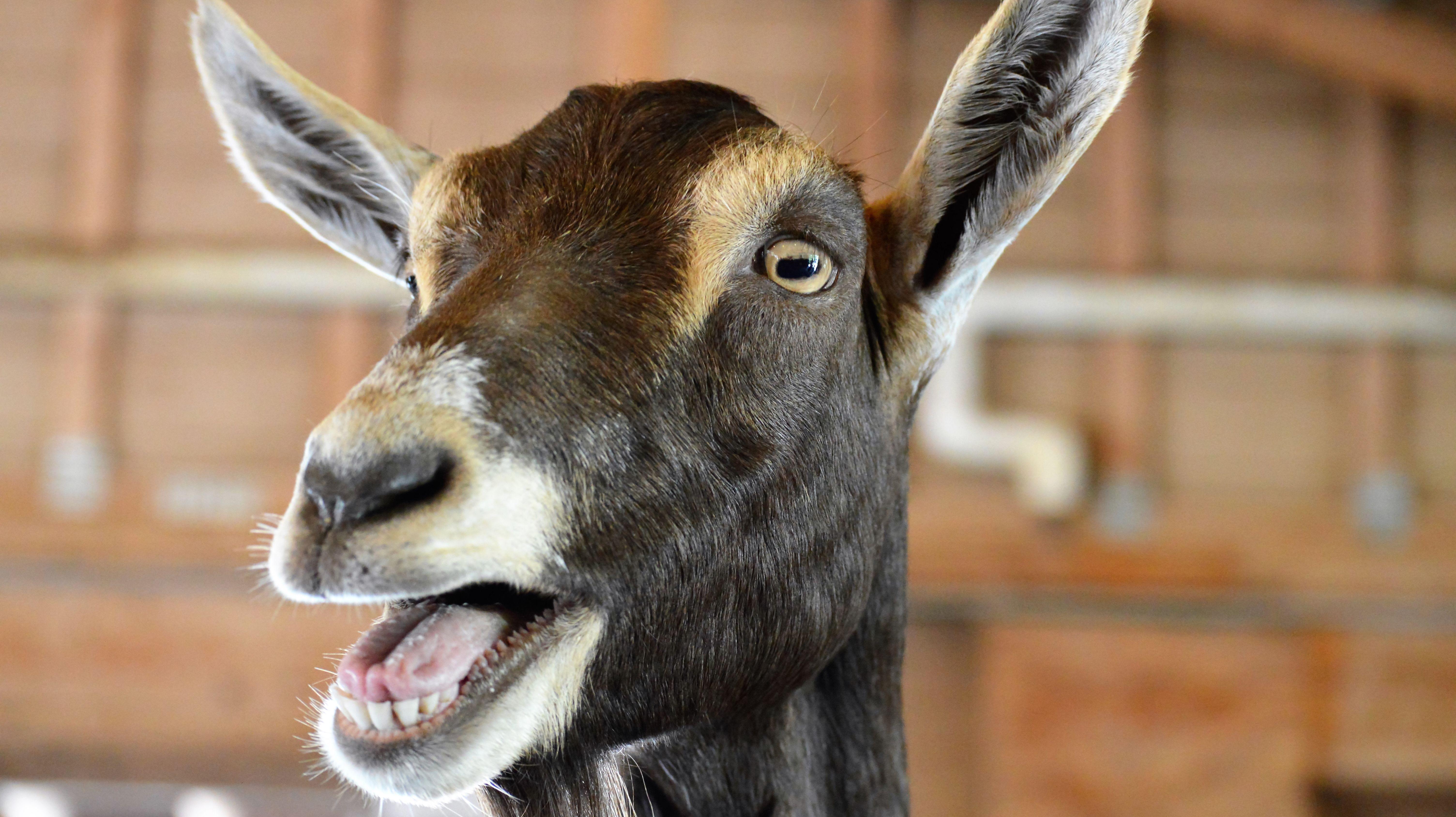 why do fainting goats