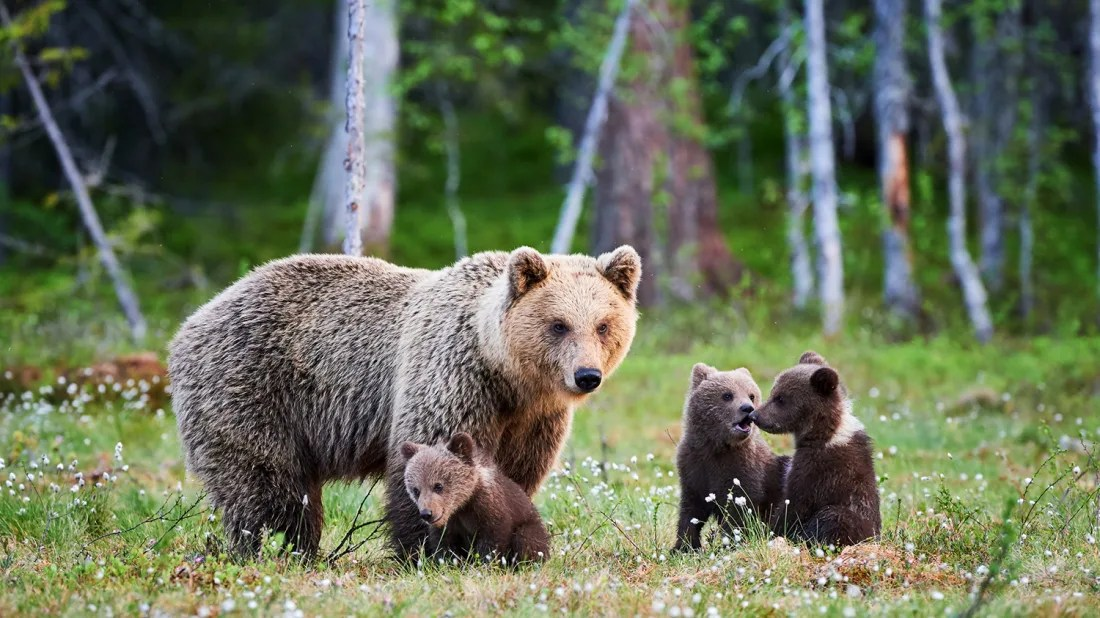 grizzly bears once lived