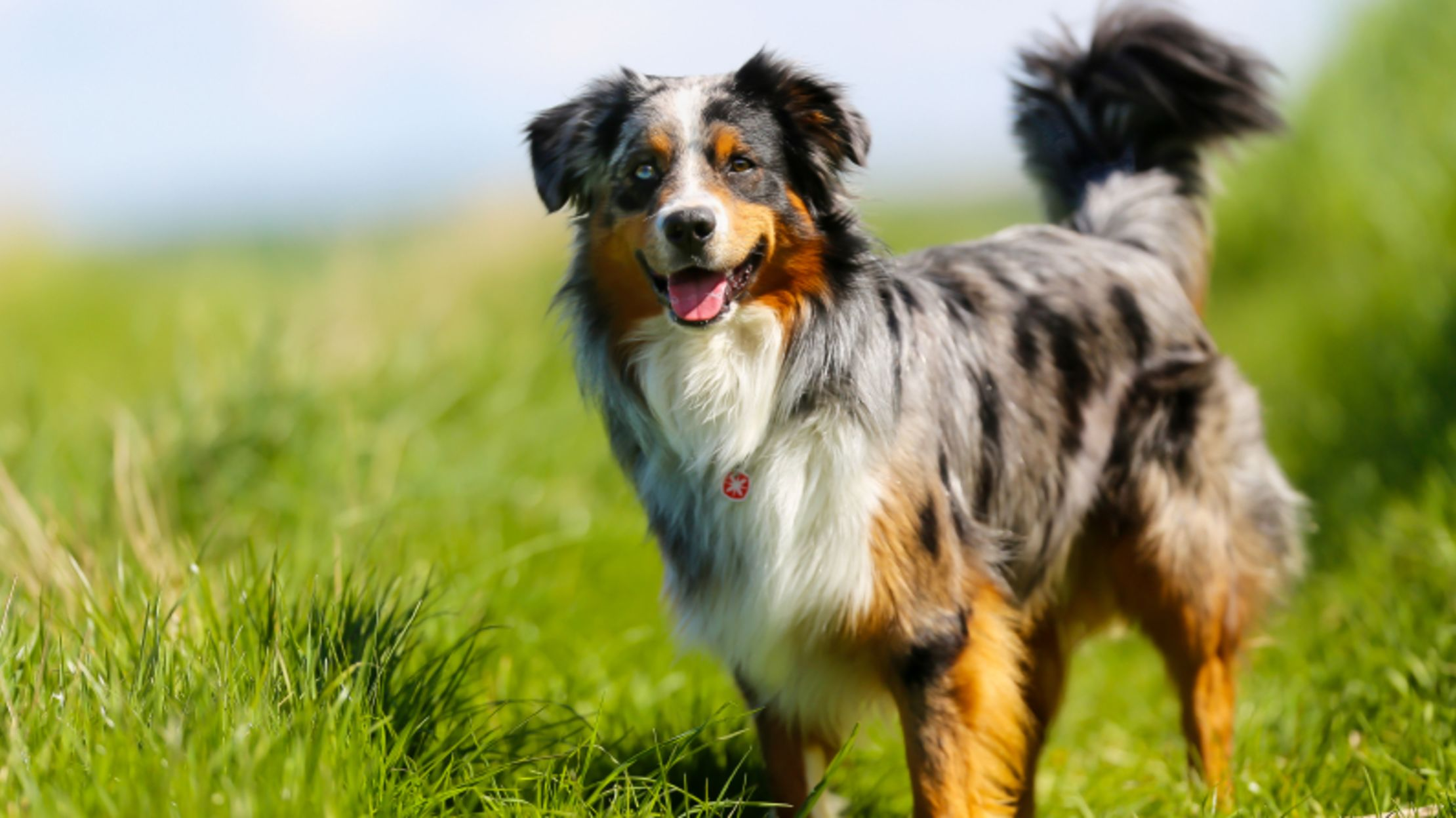 11 active facts about the australian shepherd