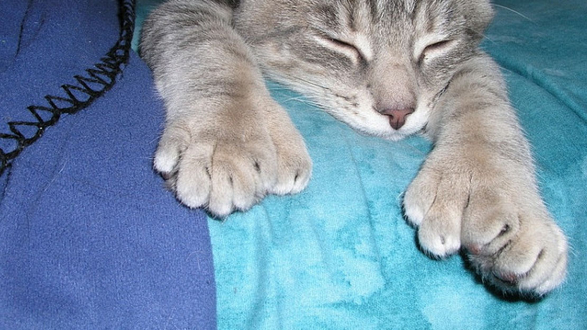 polydactyl cats the charm of big feet [ 2220 x 1248 Pixel ]