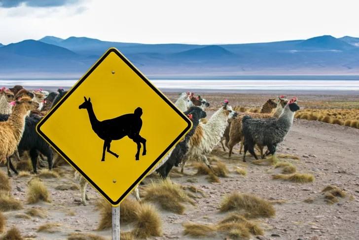 Llama cruzando la señal de tráfico en Bolivia