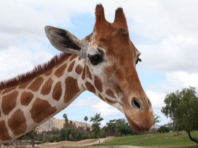 giraffe1234567.jpg - Giraffe