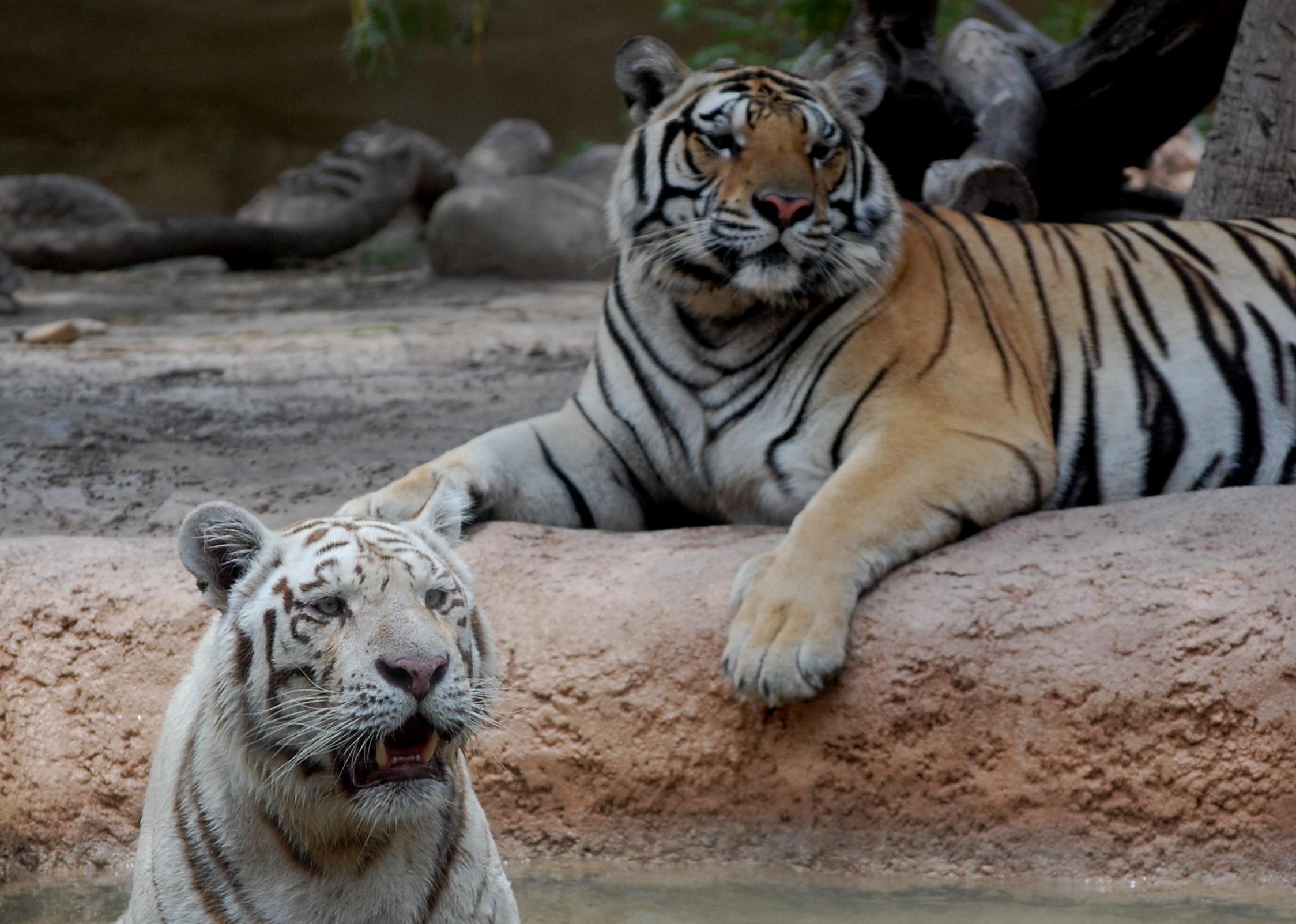 whitetigerandfriend.jpg - White Tiger and Friend