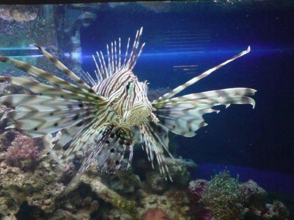 #1 - Latest Coral Cat Shark 2 Lion Fish
