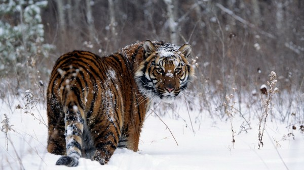Tiger Snow Field Hd Wallpaper Background 1920x1080 Id 104655 - Abyss