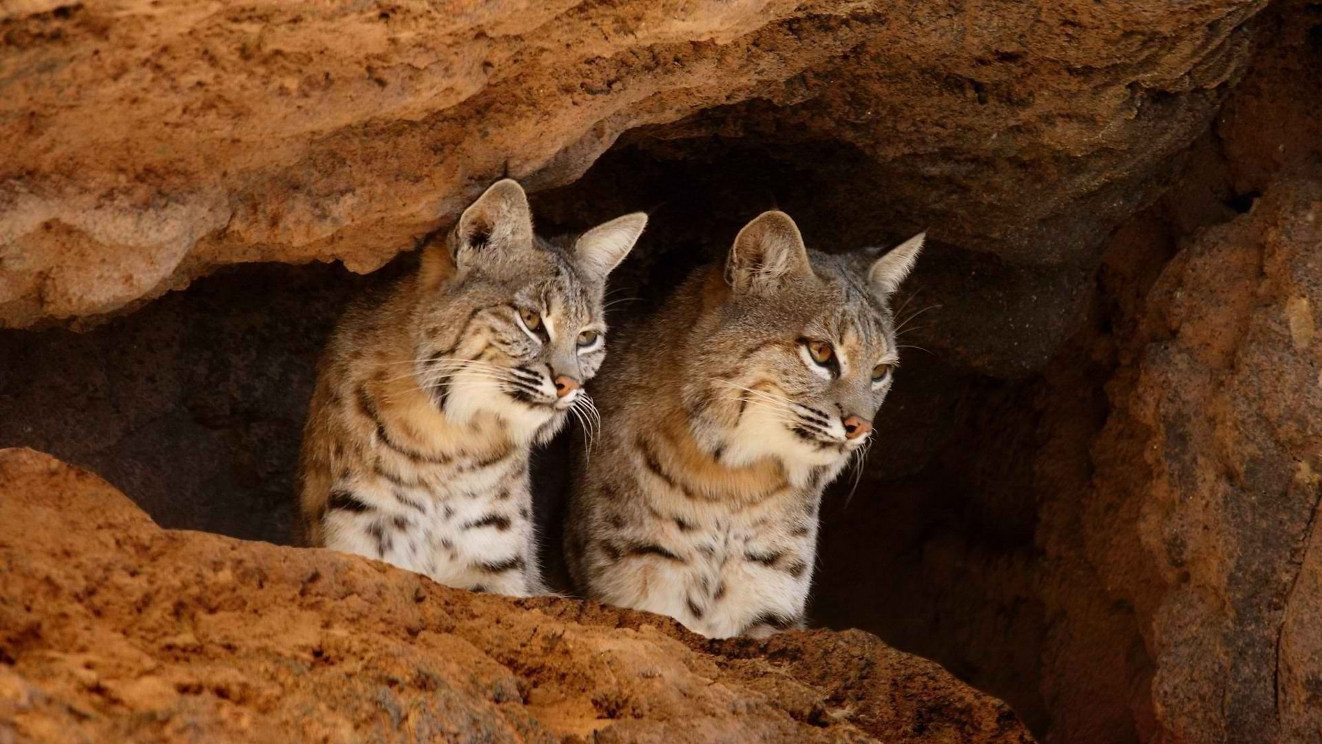 Where To Download Iphone X Live Wallpapers Bobcat Hd Wallpaper Background Image 1920x1080 Id