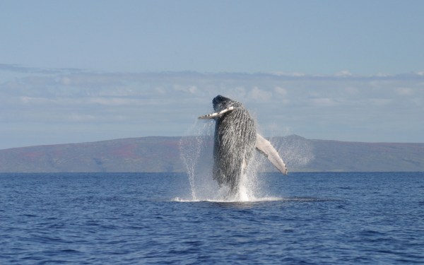 Whales Hd Wallpapers Backgrounds - Wallpaper Abyss