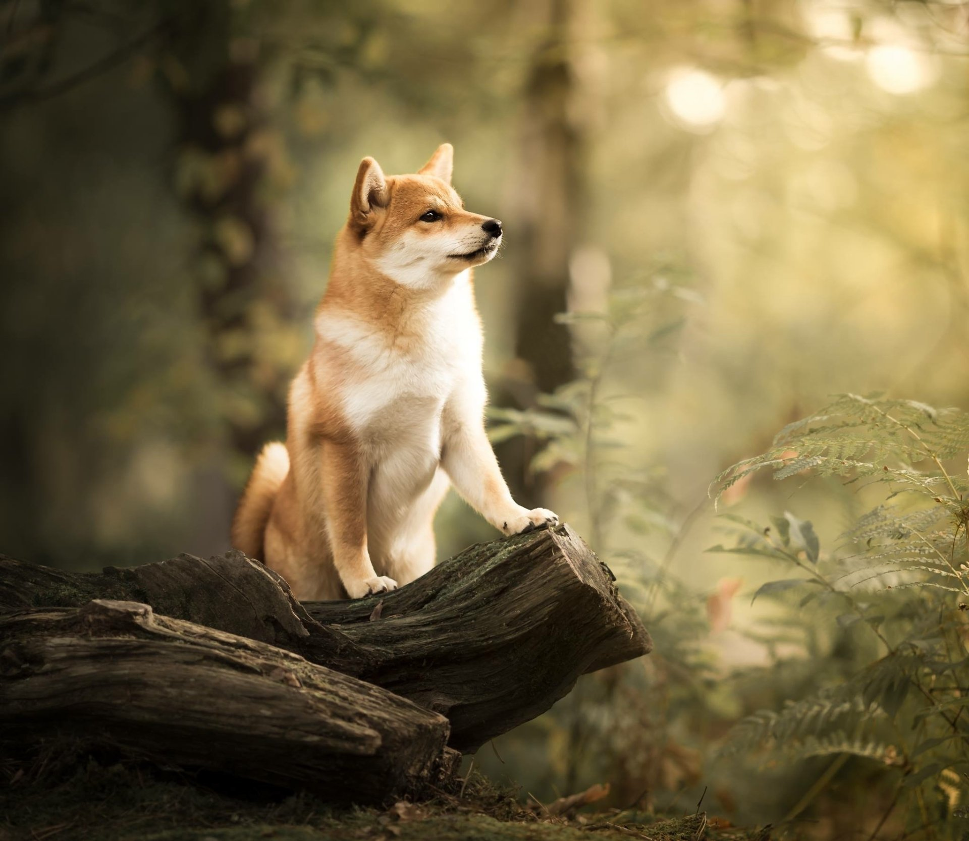 Cute Baby Animal Wallpapers Desktop Shiba Inu Hd Wallpaper Background Image 2048x1778 Id