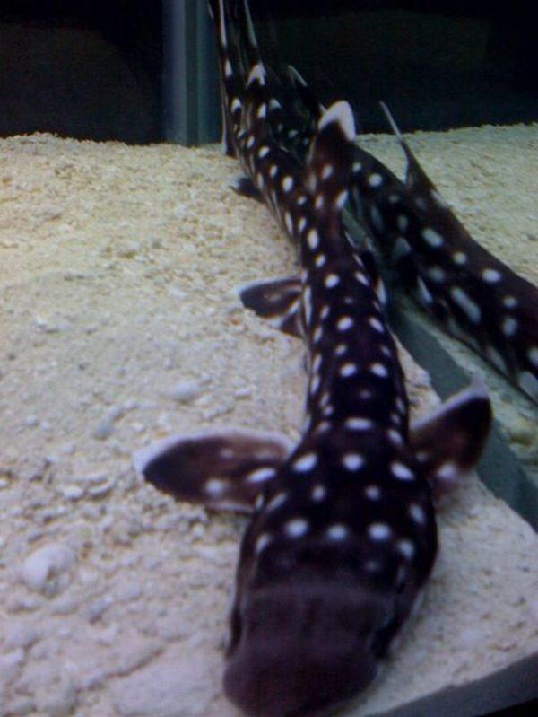Marbled Bamboo Cat Shark