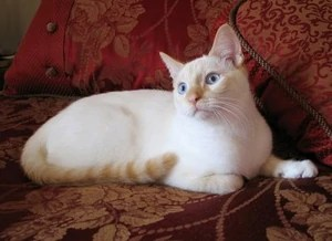 Flame Point Siamese.jpg