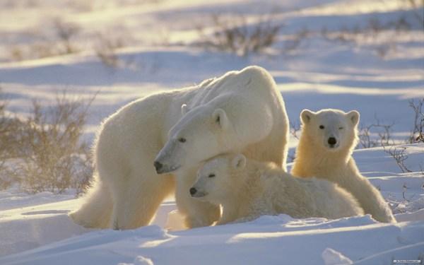 Polar Bear Hd Wallpaper Background 2560x1600 Id 116546 - Abyss