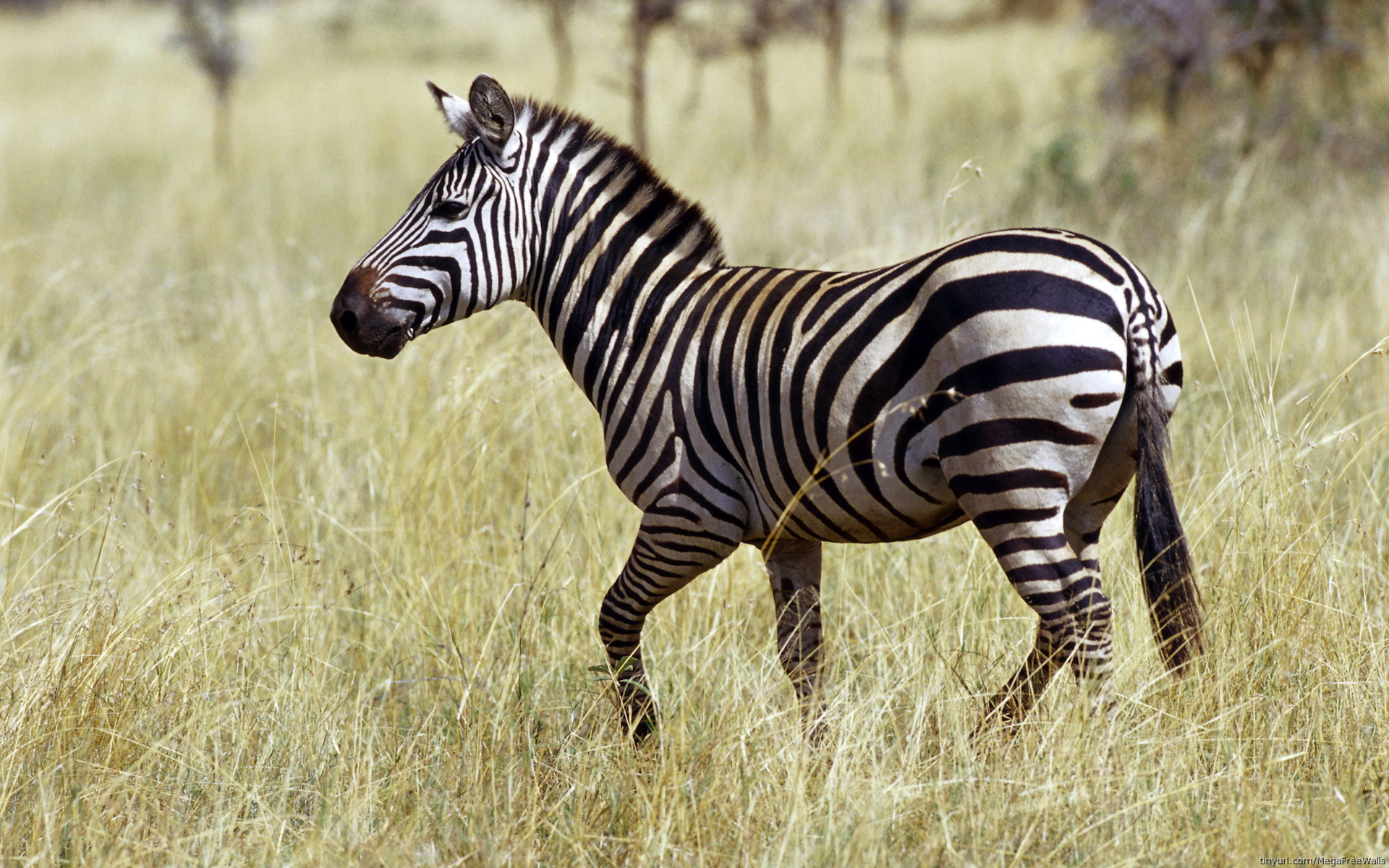 zebra full hd wallpaper and background | 1920x1200 | id:277008