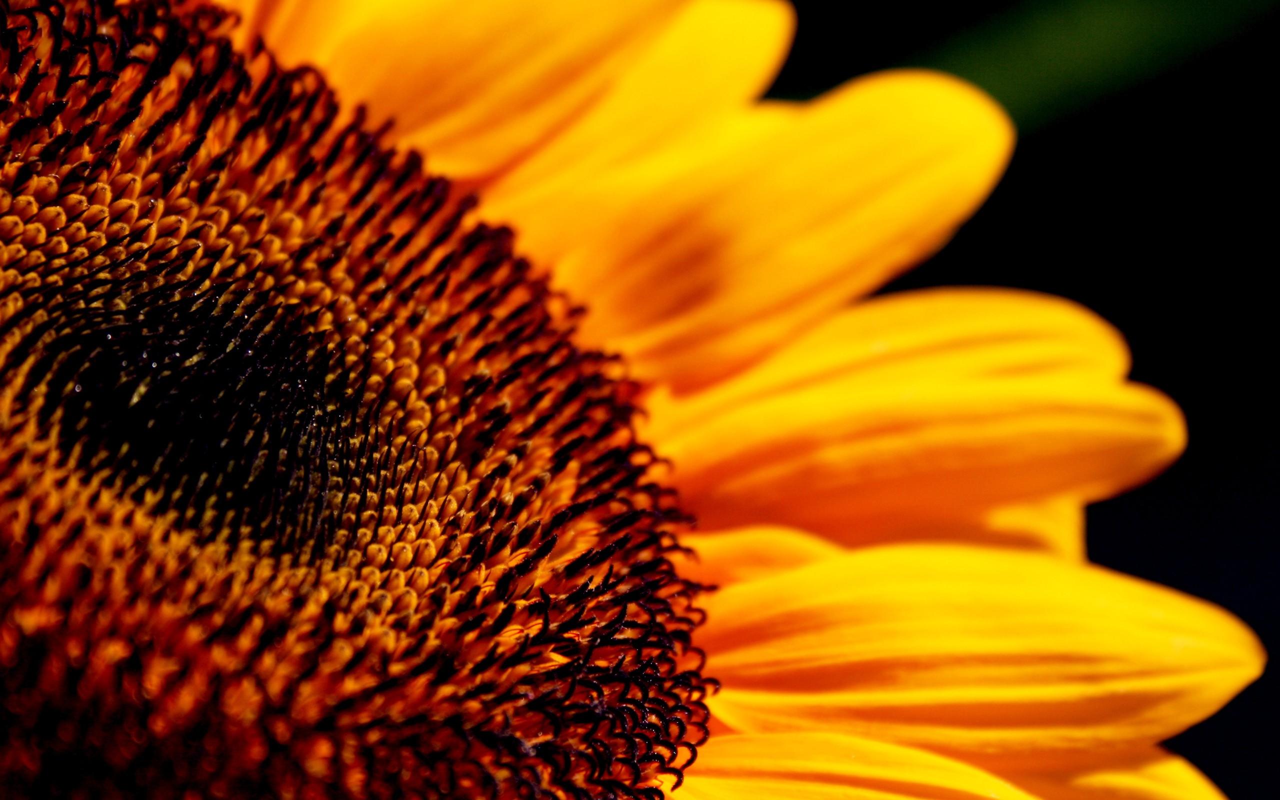 ErdeNatur Sonnenblume Blume Wallpaper