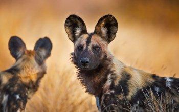 Bing Wallpaper Fall African Wild Dogs In Northern Tuli Game Reserve Botswana