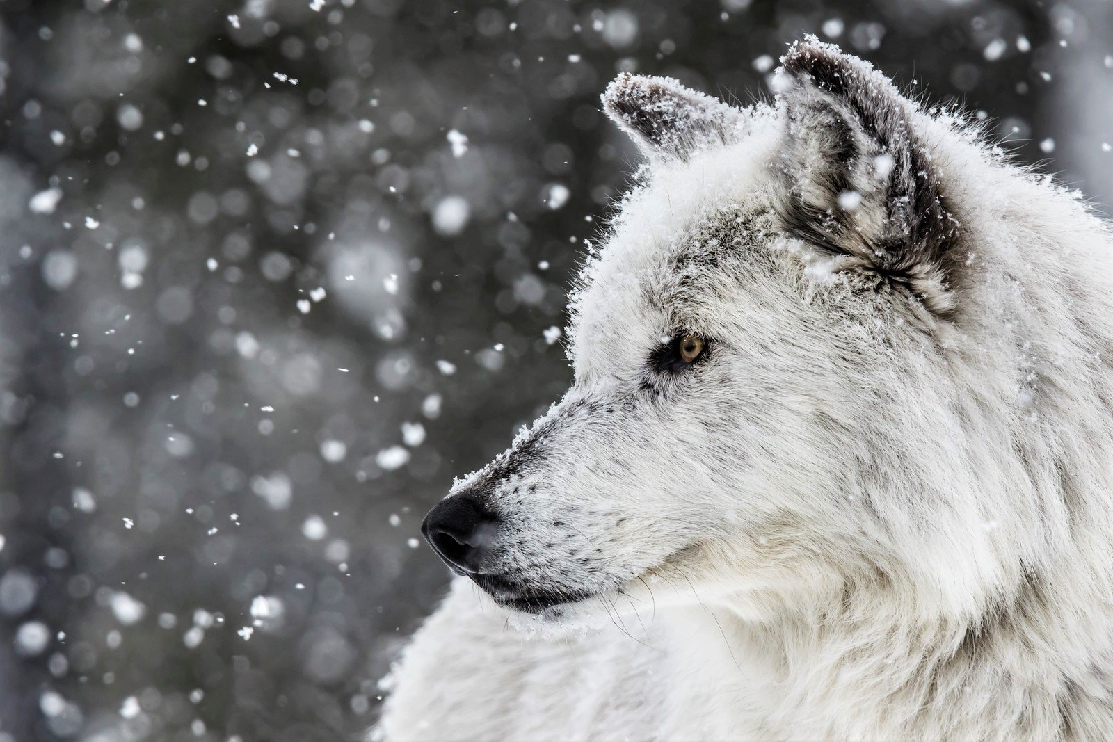 White Wolf In Winter Wallpaper And Background Image
