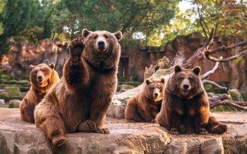 739 bear hd wallpapers