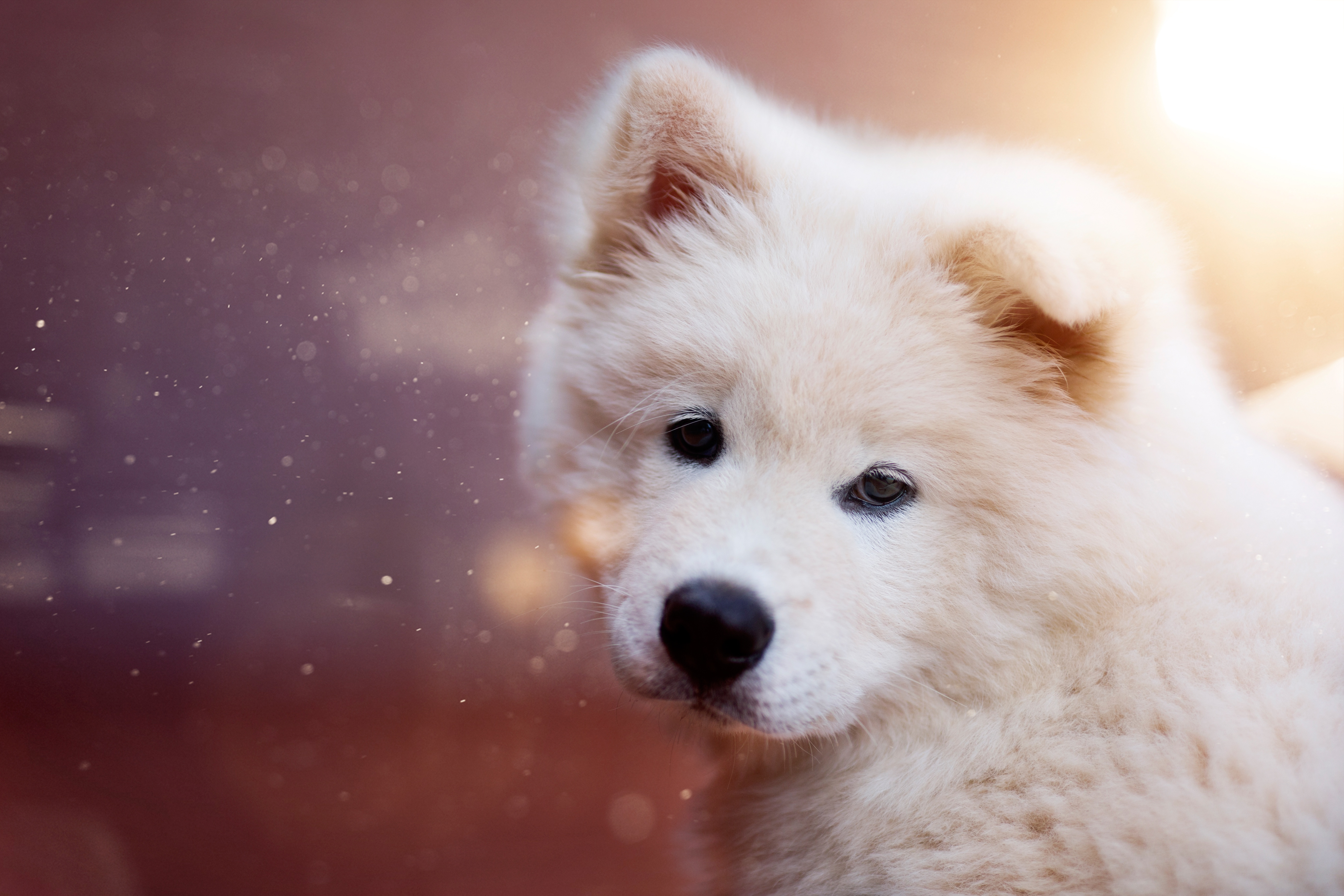 Fluffy And Cute Wallpapers Samoyed 5k Retina Ultra Hd Wallpaper Background Image