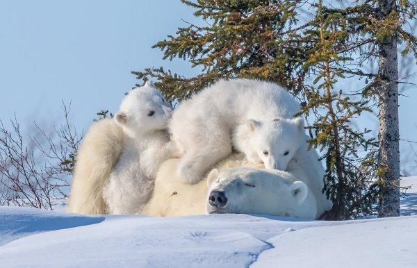 Polar Bear Hd Wallpaper Background 1920x1236 Id 909806 - Abyss