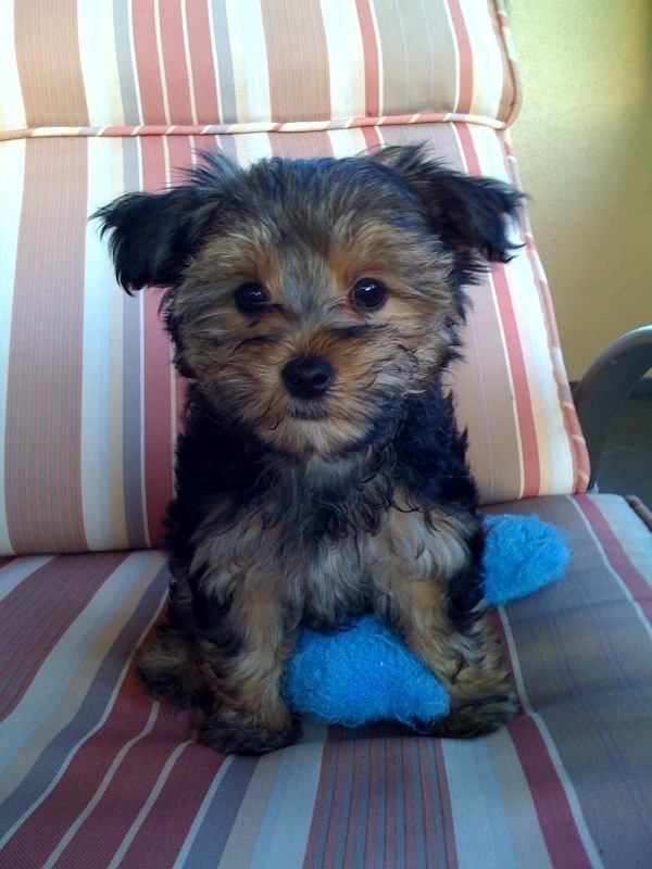 Cute Yorkshire Terrier Puppies Wallpaper Morkies Images Cute Morkie Hd Wallpaper And Background