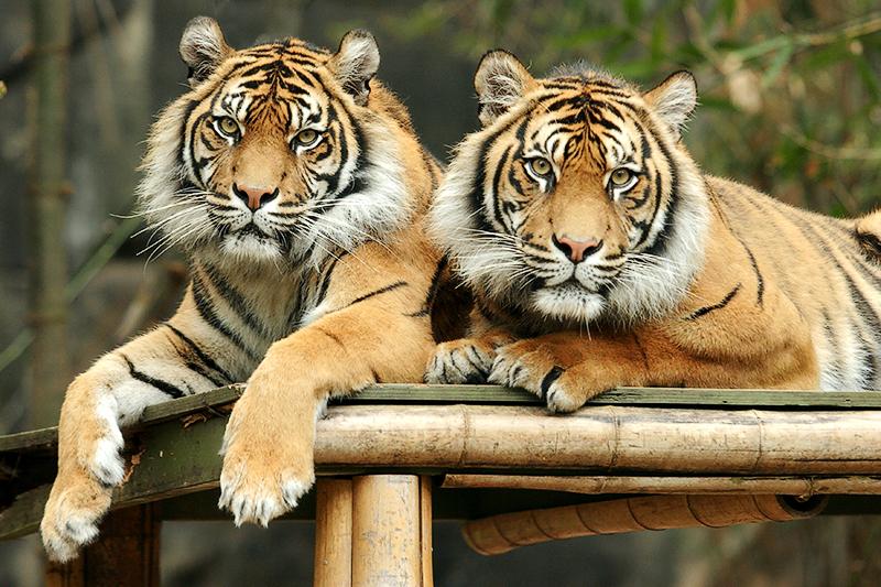 Cute Bengal Cats Wallpaper Tigers Animals Image 20237981 Fanpop