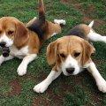 Beagle dogs dogs photo 21180083 fanpop