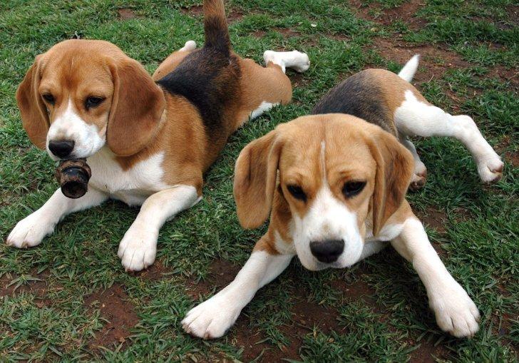 Beagles For Sale In California