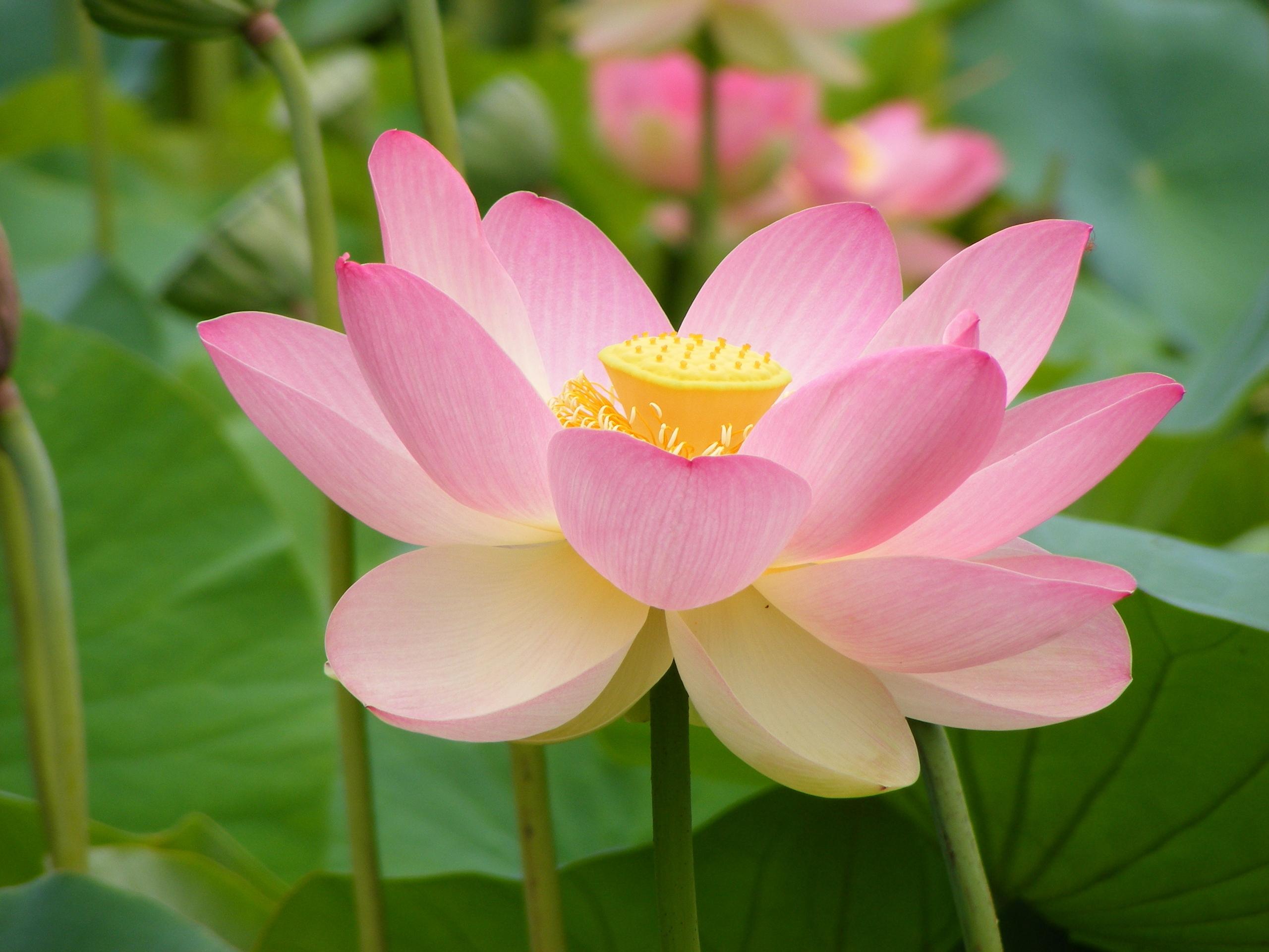 Lotus On Pinterest  Lotus Flowers, Lotus Flower Tattoos