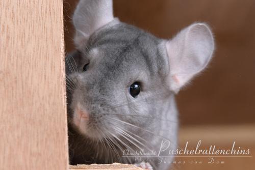 Cute House Wallpaper Random Pictures Of Chinchillas Chinchilla Photo
