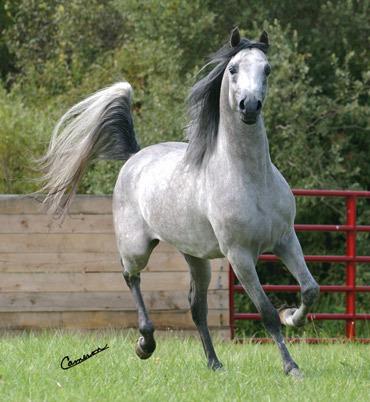 Favorite Arabian coat color Poll Results  Horses  Fanpop