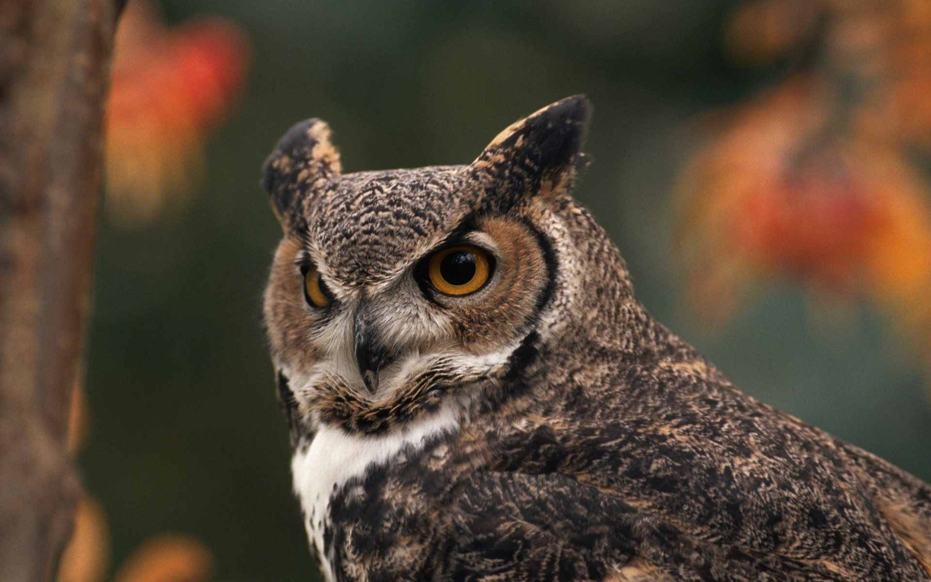 Fall Wallpaper For Large Monitors Great Horned Owl Full Hd Wallpaper And Background Image