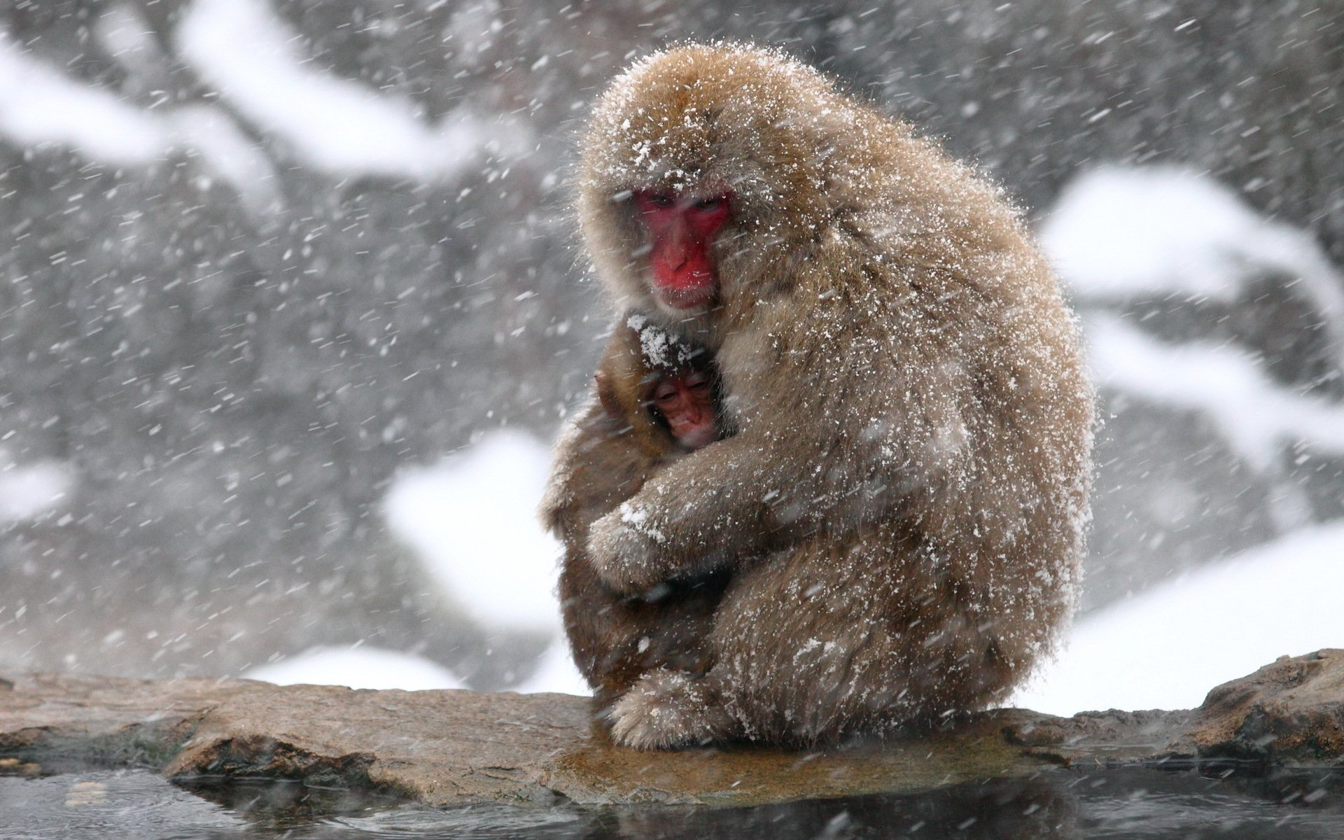 Cute Babies Hd Wallpapers 1366x768 Japanese Macaque Full Hd Wallpaper And Background Image