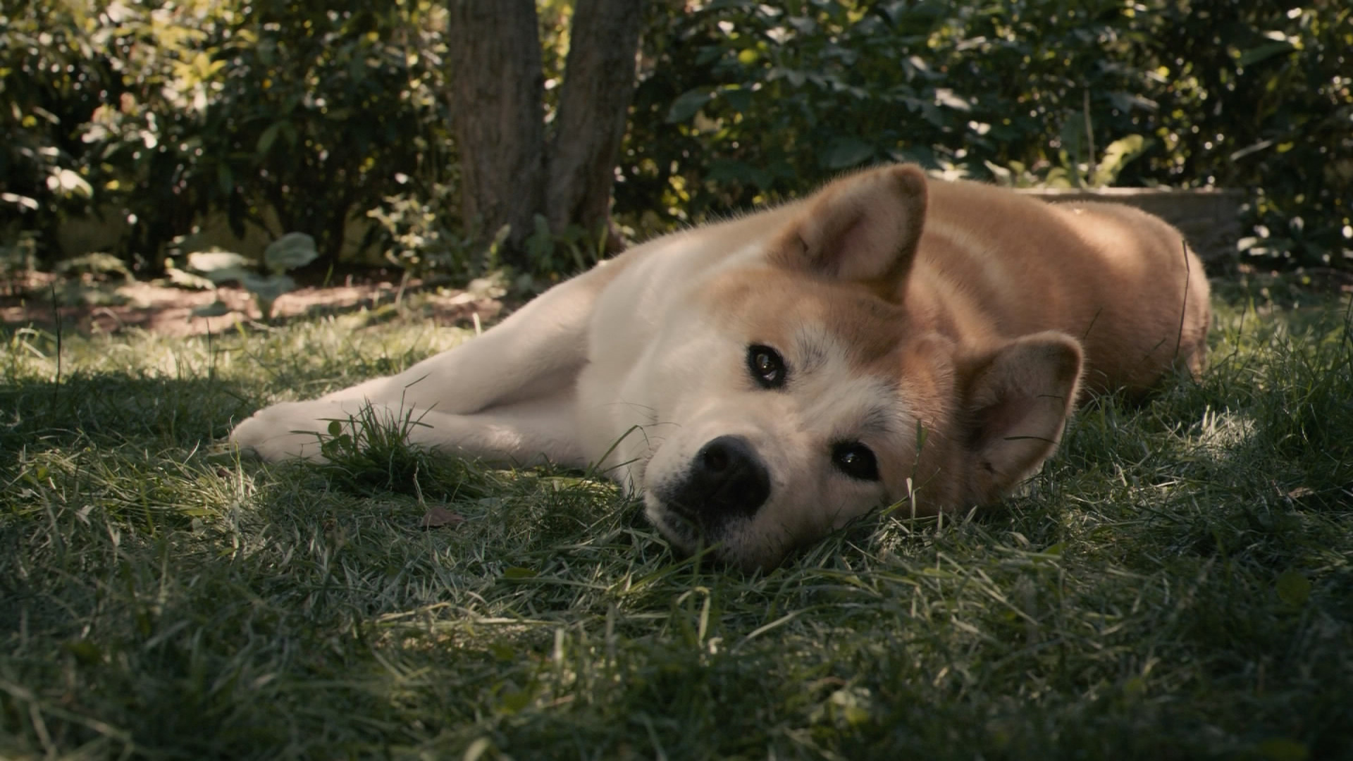 16 Akita Hd Wallpapers Backgrounds Wallpaper Abyss
