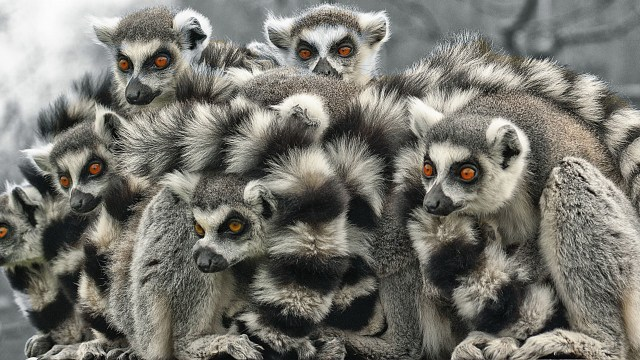 Lemur catta: ring tailed lemur scientific name
